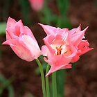 Beautiful Pink Tulips by joycemlheureux
