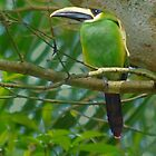 Emerald Toucanette by Linda Sparks