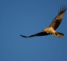whistling kite  (xj) by houenying
