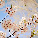Cherry Blossoms by brushnpaper