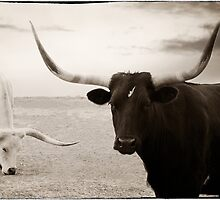 Black and White Longhorns by kristijohnson