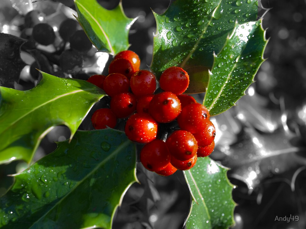 Holly Tree by Andy49