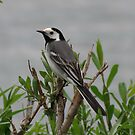 White wagtail by Peter Wiggerman