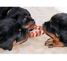 Three Rottweiler Puppies In A Tug Of War Photographic Print