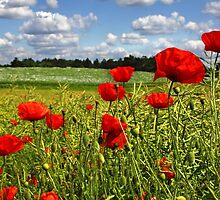 Fields of poppies by AviationPrints