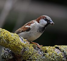 Male house sparow by Peter Wiggerman