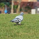 PIGEON by Jack Catford