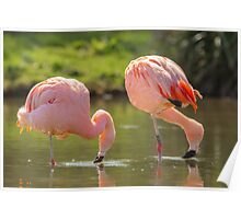 Chilean Pink Flamingo Poster