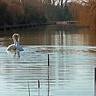 Heart of gold courting mute swans by Avril Harris