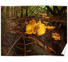 Chanterelle Mushroom  Poster