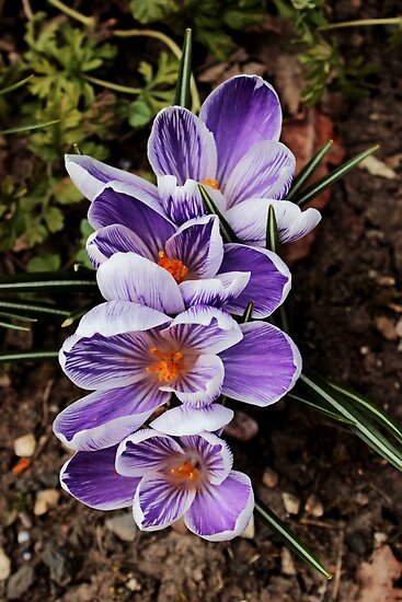 crocuses lined up  by Avril Harris