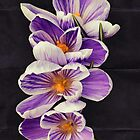Stripey Crocuses by Avril Harris