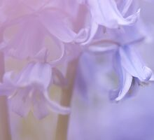 Pink Spanish Bluebells by Dave Flynn