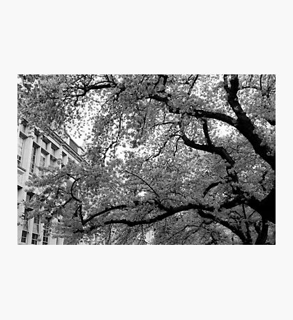 Japanese Cherry Blossoms bloom at University of Washington Photographic Print