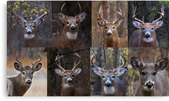 Magnificent Eight - White-tailed Deer by Jim Cumming