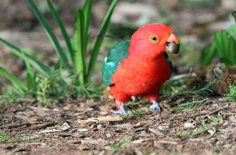 Australian King-Parrot by jozi1