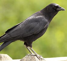 Crow on the Fence by Wolf Read