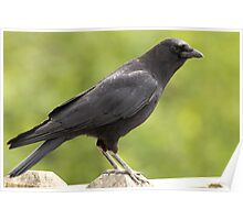 Crow on the Fence Poster
