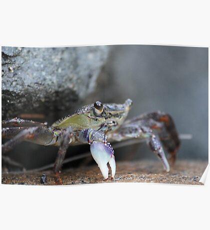 Crabs - Mooloolaba Headland Poster