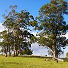 Australian Eucalyptus, Jindivik, Gippsland, Victoria. by johnrf