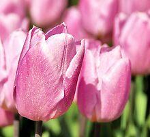 Tulipmania in Holland by Adri  Padmos