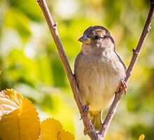 little sparrow in a falk by outbacksnaps