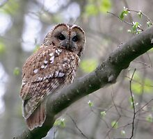 Tawny Owl by Richard Greenwood