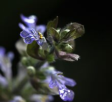 Ajuga's Beauty by Lynn Gedeon