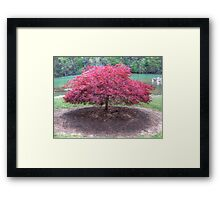 Red Laceleaf Japanese Maple Framed Print