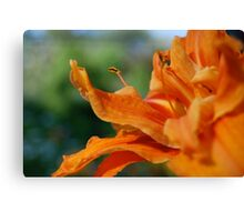 orange double flowered daylilly Canvas Print