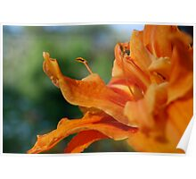 orange double flowered daylilly Poster
