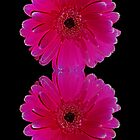 Hot Pink Gerbera by Avril Harris