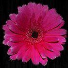 Single Hot Pink Gerbera by Avril Harris
