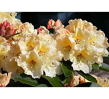 Yellow and Pink Rododendron Photographic Print