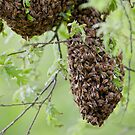 Honey Bee Swarm by David Clarke