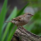 Female House sparrow by Peter Wiggerman