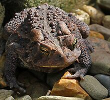 Toad of the Garden by Lynn Gedeon
