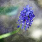 Textured Grape Hyacinth by Astrid Ewing Photography