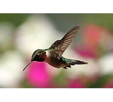 Spring Hummingbird... Photographic Print