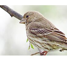 Mrs. Finch Photographic Print