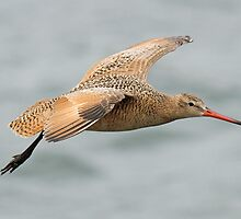 A Marbled Godwit in flight ! by jozi1