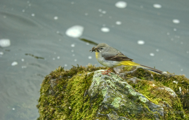 Grey Wagtail...More Than A Mouthful by Jamie  Green