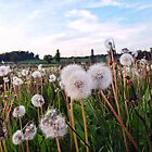 Field of dandelion clocks by Paulmayfield