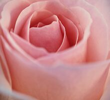 Rose by Paul Amyes