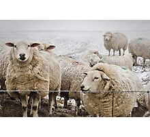 Sheep Photographic Print