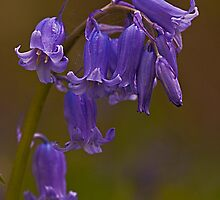 Bluebell Flowers by JMChown