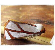 Clara's Satin Moth Poster