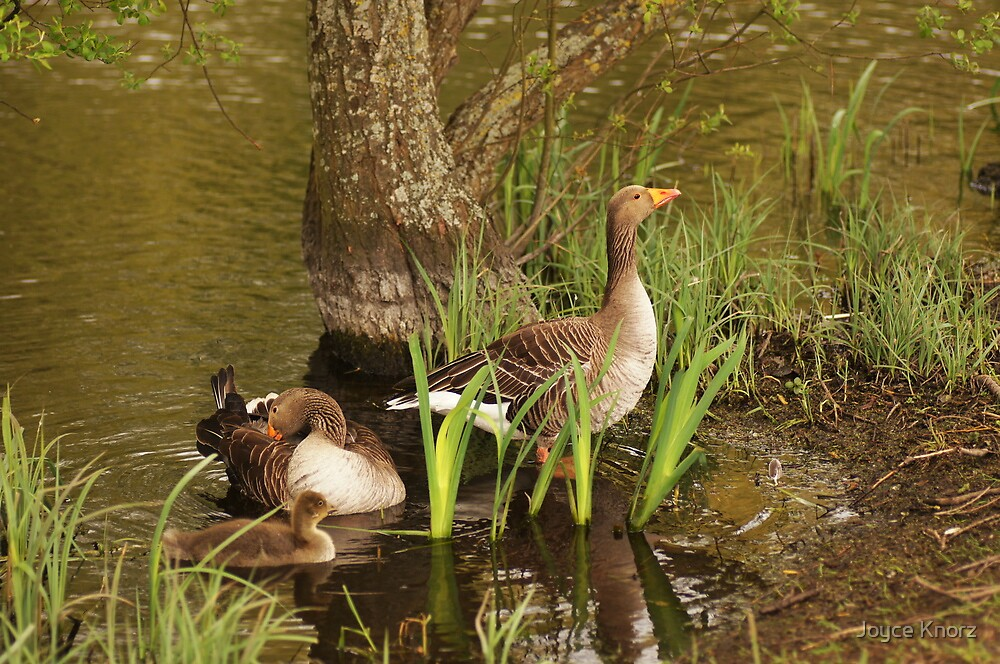 The geese family by Joyce Knorz