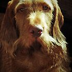 Hungarian Wirehaired Vizla by trish725