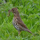 Song Thrush by Peter Wiggerman